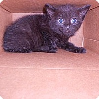 Adopt A Pet :: Bagira - Maywood, NJ