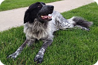 Blue Heeler/Great Pyrenees Mix Dog for adoption in Bloomington, Illinois - Sophia ADOPTED