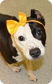 Pit Bull Terrier/American Staffordshire Terrier Mix Dog for adoption in Lincolnton, North Carolina - Ying EUTH NOV 7