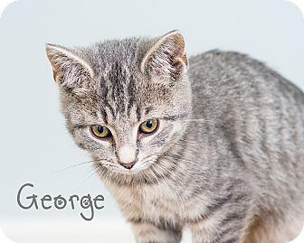 Domestic Shorthair Kitten for adoption in Somerset, Pennsylvania - George