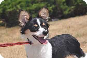 Sheltie, Shetland Sheepdog/Papillon Mix Dog for adoption in Tumwater, Washington - Wiggles