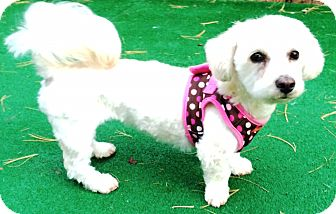 Bichon Frise/Maltese Mix Dog for adoption in Dover, Massachusetts - Joleen (Help needed)