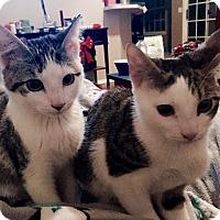 Adopt A Pet :: Bali - Bentonville, AR