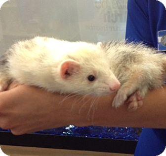 Ferret for adoption in Cheektowaga, New York - Henry