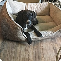 Adopt A Pet :: Shelby - Tallahassee, FL