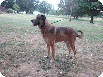 German Shepherd Dog/Labrador Retriever Mix Dog for adoption in Canton, Ohio - King