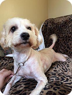 Poodle (Miniature)/Bichon Frise Mix Dog for adoption in Maryville, Missouri - Lady