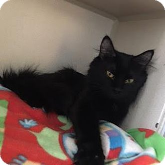 Domestic Longhair Cat for adoption in Denver, Colorado - Lucy