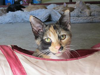 Calico Cat for adoption in Maxwelton, West Virginia - Princess