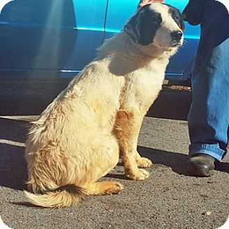 Great Pyrenees/Border Collie Mix Dog for adoption in Fayetteville, Tennessee - *Courtesy Post*