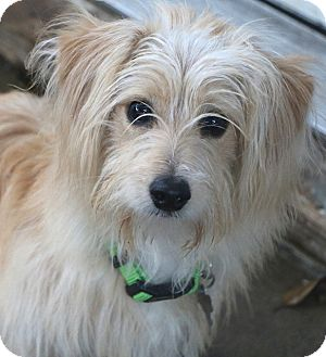 Terrier (Unknown Type, Small)/Maltese Mix Dog for adoption in Bedminster, New Jersey - Travis - MEET ME