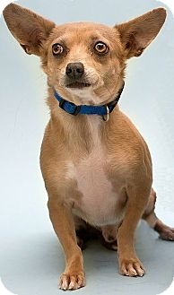 Dachshund/Chihuahua Mix Dog for adoption in Mesa, Arizona - Prince