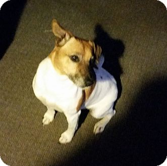 Jack Russell Terrier Dog for adoption in Rowlett, Texas - Jack