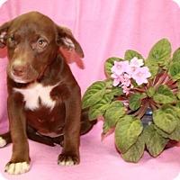Adopt A Pet :: Reese - Salem, NH