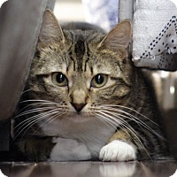 Domestic Shorthair Cat for adoption in Wayne, New Jersey - Jessica