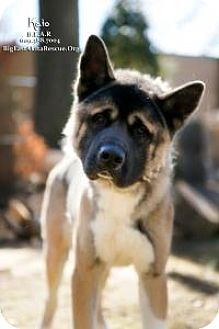 Akita Mix Dog for adoption in Toms River, New Jersey - Kato