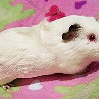 Adopt A Pet :: Stella - South Bend, IN