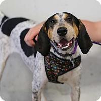 Adopt A Pet :: Sarafina - Minneapolis, MN
