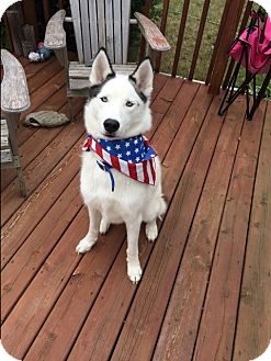 Siberian Husky Mix Dog for adoption in Crystal Lake, Illinois - Captain