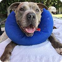 Adopt A Pet :: Porter - Los Angeles, CA