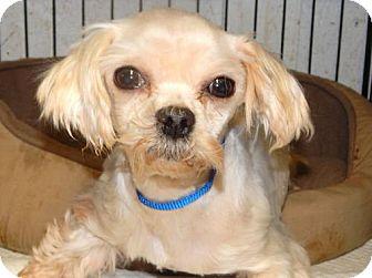 Maltese Dog for adoption in Anderson, South Carolina - Swirly