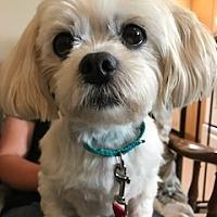 Adopt A Pet :: Lulu - Manchester, CT