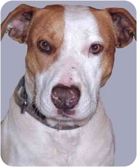 Pit Bull Terrier Mix Dog for adoption in Grass Valley, California - Fred