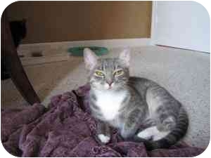 Domestic Shorthair Cat for adoption in Houston, Texas - Shiloh