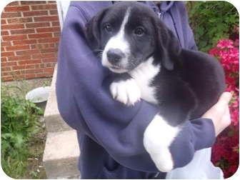 Border Collie/Labrador Retriever Mix Puppy for adoption in Bel Air, Maryland - Domino