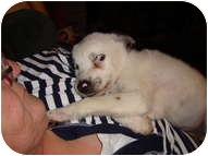Australian Shepherd Puppy for adoption in Spring City, Tennessee - Cindy Lou Who