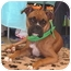 Photo 3 - Boxer Dog for adoption in Turnersville, New Jersey - Bella
