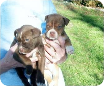 Pit Bull Terrier Puppy for adoption in harrah, Oklahoma - 2 Pit Babies