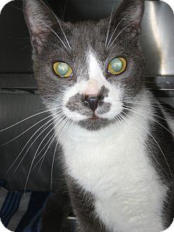 Domestic Shorthair Cat for adoption in Wheaton, Illinois - Maestro