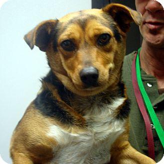 Beagle Mix Dog for adoption in Manassas, Virginia - Tubbs