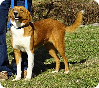Collie Mix Dog for adoption in Pulaski, Tennessee - Brownie