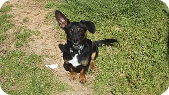 Dachshund/Terrier (Unknown Type, Small) Mix Dog for adoption in Marshall, Texas - Diego