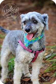 Shih Tzu/Poodle (Miniature) Mix Dog for adoption in Albany, New York - Fancy