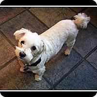 Adopt A Pet :: Marshmellow - Blairstown, NJ