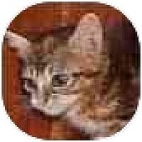Adopt A Pet :: Dapples - Dallas, TX