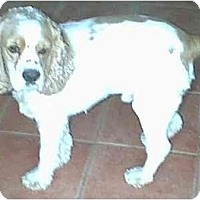 Adopt A Pet :: Chance - dewey, AZ