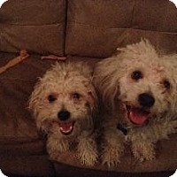 Adopt A Pet :: Jai & Joey (fostered in Maine) - Gilford, NH