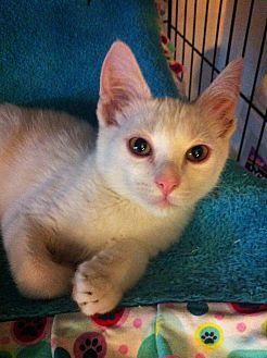Domestic Shorthair Kitten for adoption in Long Beach, California - Jack