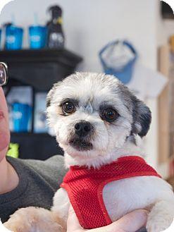 Shih Tzu Mix Dog for adoption in Nashville, Tennessee - Lennon