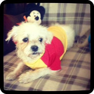 Maltese Mix Dog for adoption in Seattle, Washington - Gambino Please readdescription