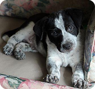 Australian Cattle Dog Mix Puppy for adoption in Nampa, Idaho - BAXTER