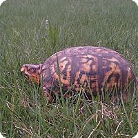 Adopt A Pet :: Flash E Box - Baltimore, MD