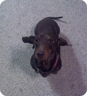 Dachshund Dog for adoption in Huntley, Illinois - Choco