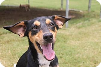 Terrier (Unknown Type, Medium)/Beagle Mix Dog for adoption in Chattanooga, Tennessee - Teeko