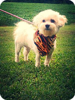 Maltese Mix Dog for adoption in Hollis, Maine - Gracie