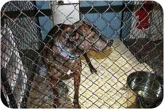 Labrador Retriever/Mastiff Mix Dog for adoption in Bristol, Rhode Island - Summer